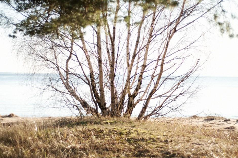 strandbjörk beach birch